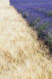 lavender σίτος Στοκ Φωτογραφία