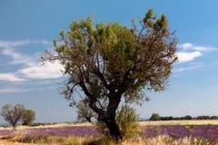 lavender σίτος Στοκ φωτογραφία με δικαίωμα ελεύθερης χρήσης