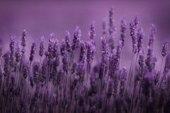 lavender σειρά στοκ εικόνες