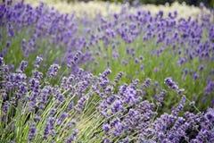 Lavender σε Sequim 16 Στοκ Εικόνες