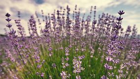 Lavender στενός επάνω λουλουδιών σε έναν τομέα στην Προβηγκία Γαλλία σε έναν μπλε ουρανό και ένα κλίμα σύννεφων απόθεμα βίντεο