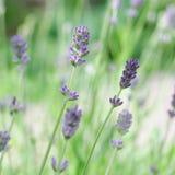 Lavender στενός επάνω τομέων, υπόβαθρο Στοκ Εικόνες