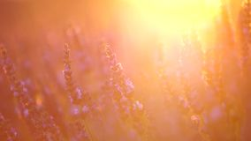 Lavender στην Προβηγκία, Γαλλία απόθεμα βίντεο