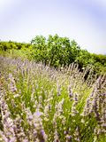 Lavender στη περίοδο ανομβρίας Στοκ εικόνα με δικαίωμα ελεύθερης χρήσης