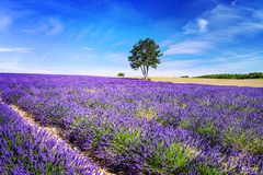 Lavender στο νότο της Γαλλίας Στοκ φωτογραφία με δικαίωμα ελεύθερης χρήσης
