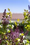 Lavender στο σπίτι DA Στοκ εικόνα με δικαίωμα ελεύθερης χρήσης
