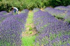 Lavender συγκομιδών γυναικών Στοκ Φωτογραφίες