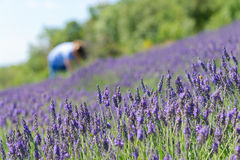 Lavender συγκομιδών γυναικών Στοκ φωτογραφία με δικαίωμα ελεύθερης χρήσης