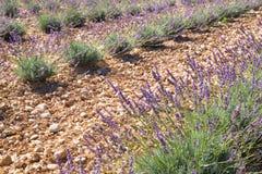 Lavender σύνθεση λουλουδιών Στοκ Εικόνες