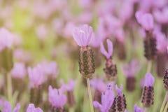 lavender τα πορφυρά ισπανικά λου Στοκ Φωτογραφίες