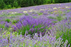 lavender της Γαλλίας πεδίων Στοκ εικόνα με δικαίωμα ελεύθερης χρήσης