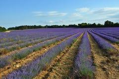 lavender της Γαλλίας πεδίων Στοκ Εικόνες