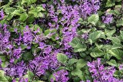 Lavender της Mona υπόβαθρο Plectranthus Στοκ Φωτογραφία