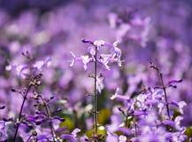 Lavender της Mona Plectranthus λουλούδια στη φύση Στοκ φωτογραφία με δικαίωμα ελεύθερης χρήσης