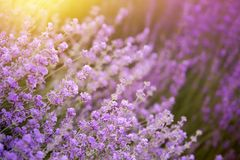 Lavender τομέας λουλουδιών Στοκ Φωτογραφία