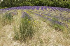 Lavender τομέας με τα λουλούδια Στοκ φωτογραφία με δικαίωμα ελεύθερης χρήσης