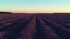Lavender τομέας στην Προβηγκία και όμορφο ηλιοβασίλεμα πέρα από το καλλιεργήσιμο έδαφος απόθεμα βίντεο