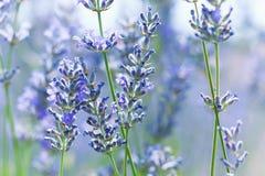 Lavender τομέας στη γαλλική Προβηγκία Στοκ Φωτογραφία