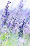 Lavender τομέας στη γαλλική Προβηγκία Στοκ φωτογραφία με δικαίωμα ελεύθερης χρήσης