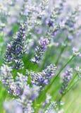 Lavender τομέας στη γαλλική Προβηγκία Στοκ Εικόνες