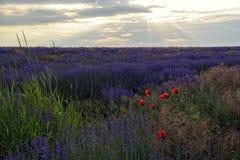 Lavender τομέας στο ηλιοβασίλεμα στοκ φωτογραφίες