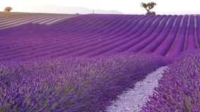 Lavender τομέας το καλοκαίρι σε Valensole φιλμ μικρού μήκους