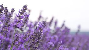 Lavender τομέας ina απόθεμα βίντεο