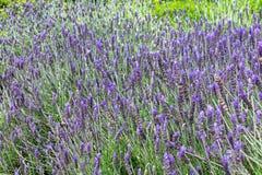 Lavender τομέας Lavandula την άνοιξη στοκ εικόνες