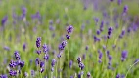 Lavender τομείς στην Αγγλία Στοκ φωτογραφία με δικαίωμα ελεύθερης χρήσης