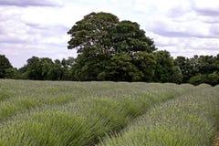 Lavender τομείς στην Αγγλία Στοκ Εικόνες