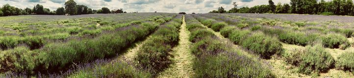 Lavender τομείς στην Αγγλία Στοκ φωτογραφίες με δικαίωμα ελεύθερης χρήσης