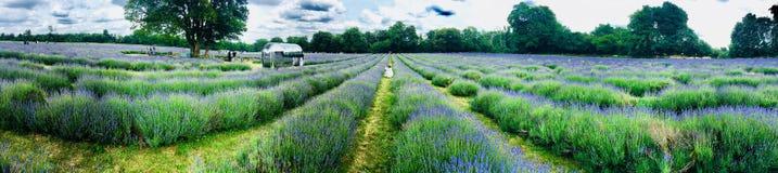 Lavender τομείς στην Αγγλία Στοκ εικόνες με δικαίωμα ελεύθερης χρήσης