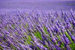 Lavender τομείς στην Προβηγκία Στοκ εικόνα με δικαίωμα ελεύθερης χρήσης