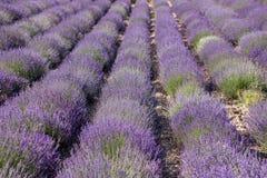Lavender τομείς στην Προβηγκία Στοκ Εικόνες