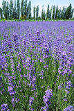 Lavender τομείς το καλοκαίρι Στοκ φωτογραφία με δικαίωμα ελεύθερης χρήσης