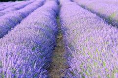 Lavender τομείς Στοκ Φωτογραφία