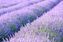 Lavender τομείς Στοκ Εικόνες
