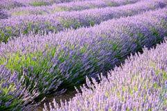 Lavender τομείς Στοκ εικόνες με δικαίωμα ελεύθερης χρήσης