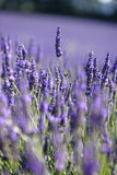 Lavender τομείς Στοκ φωτογραφία με δικαίωμα ελεύθερης χρήσης