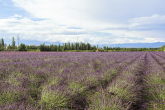 Lavender τομείς Xinjiang, Κίνα Στοκ Φωτογραφίες