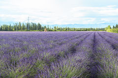 Lavender τομείς Xinjiang, Κίνα Στοκ εικόνα με δικαίωμα ελεύθερης χρήσης