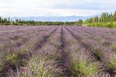 Lavender τομείς Xinjiang, Κίνα Στοκ Εικόνες