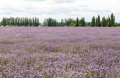 Lavender τομείς Xinjiang, Κίνα Στοκ εικόνες με δικαίωμα ελεύθερης χρήσης