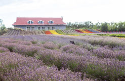 Lavender τομείς Xinjiang, Κίνα Στοκ Φωτογραφία