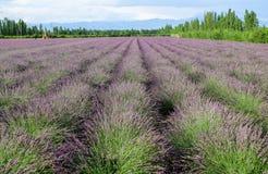 Lavender τομείς Xinjiang, Κίνα Στοκ φωτογραφία με δικαίωμα ελεύθερης χρήσης