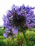 Lavender του πάρκου Kula Στοκ Εικόνες