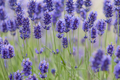 Lavender το λουλούδι φυσικό κοιτάζει Lavender των λουλουδιών Lavandula Στοκ Φωτογραφίες