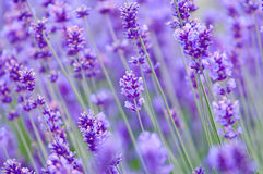 Lavender το λουλούδι φυσικό κοιτάζει Lavender των λουλουδιών Lavandula Στοκ φωτογραφία με δικαίωμα ελεύθερης χρήσης