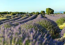 Lavender το τοπίο θερινού ηλιοβασιλέματος τομέων κοντά στο δέντρο σε Kuyucak, είναι στοκ εικόνες