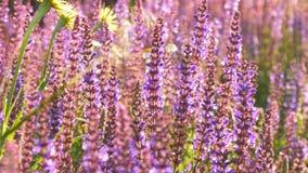 Lavender το φυτό αυξάνεται το καλοκαίρι απόθεμα βίντεο